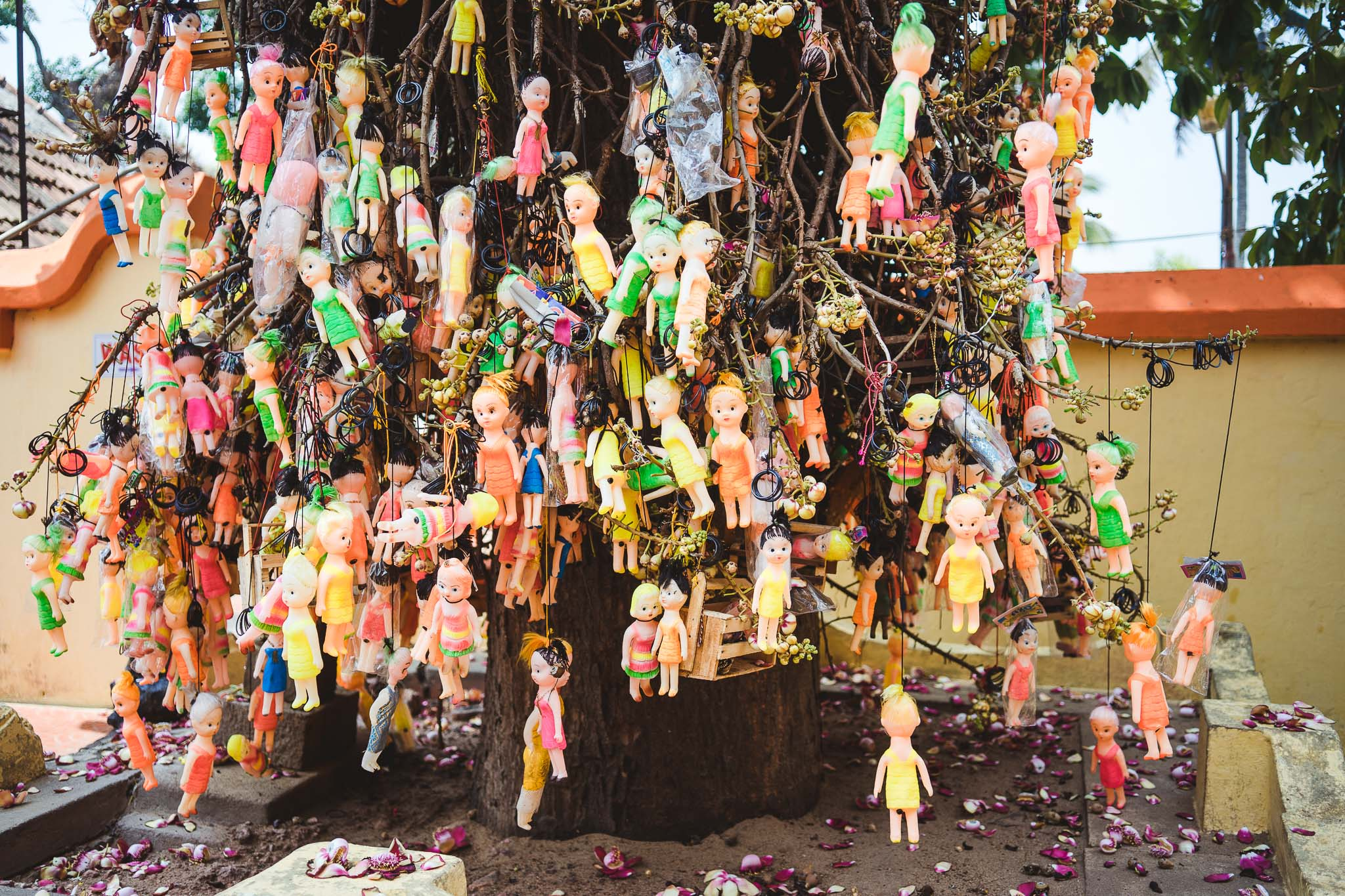 osobliwe drzewo tuż przy świątyni, Varkala, Kerala, India