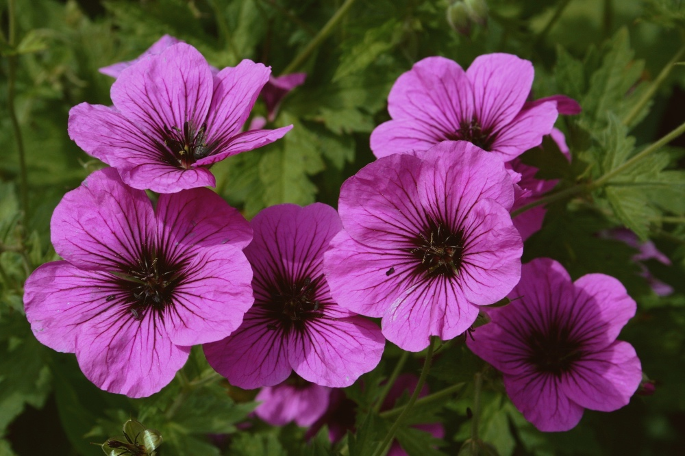 geranium flowers for best geranium essential oil uses altered