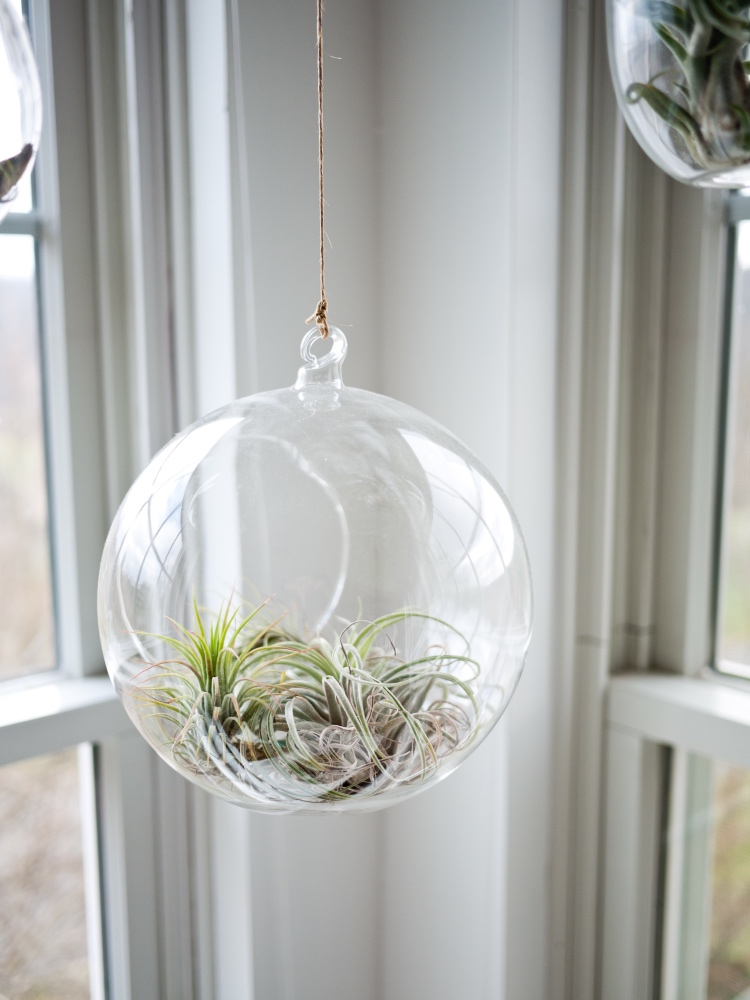 How To Water Air Plants Tillandsia Terrarium Care
