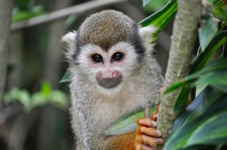 Popsicle Society - small monkey