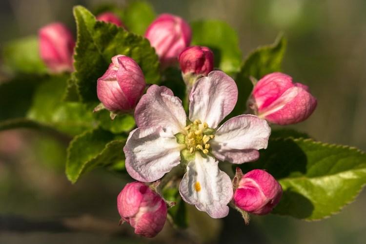 Apple Flower_PopsicleSociety