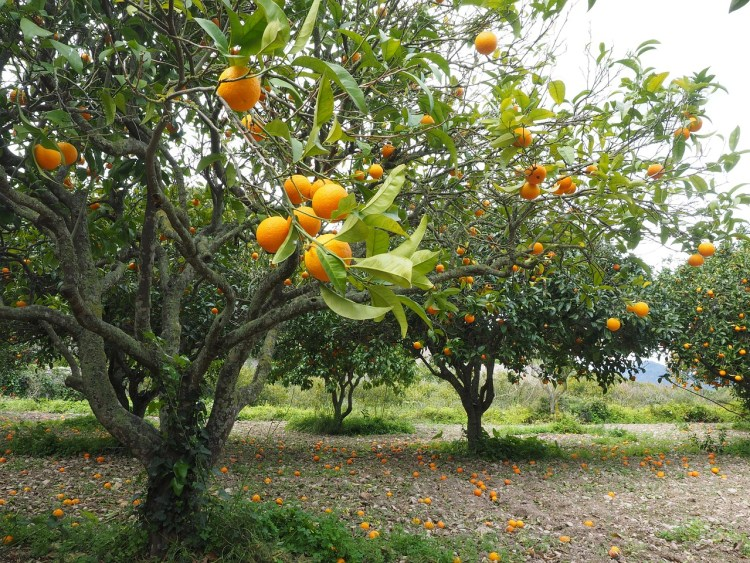 oranges orchard_Popsicle Society