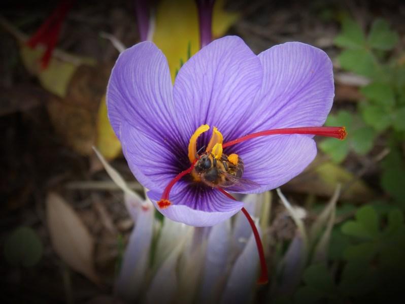 Saffron flower_Popsicle Society