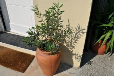 small olive tree_Popsicle Society