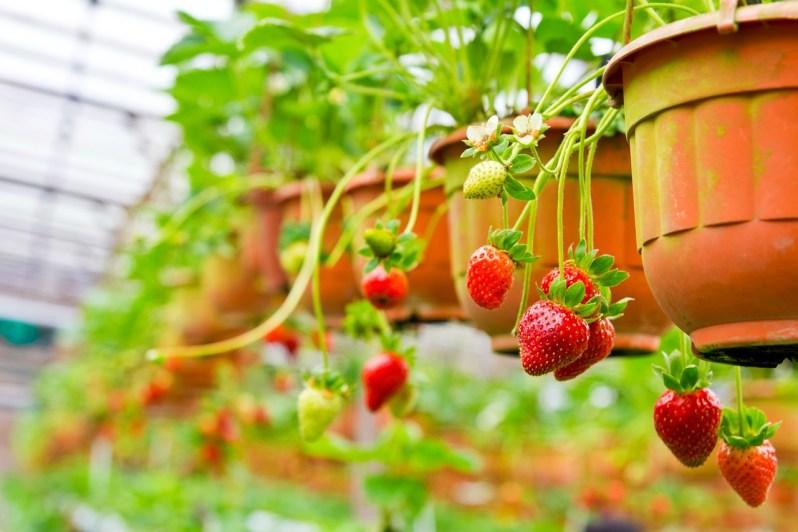 Strawberries in pots_Popsicle Society