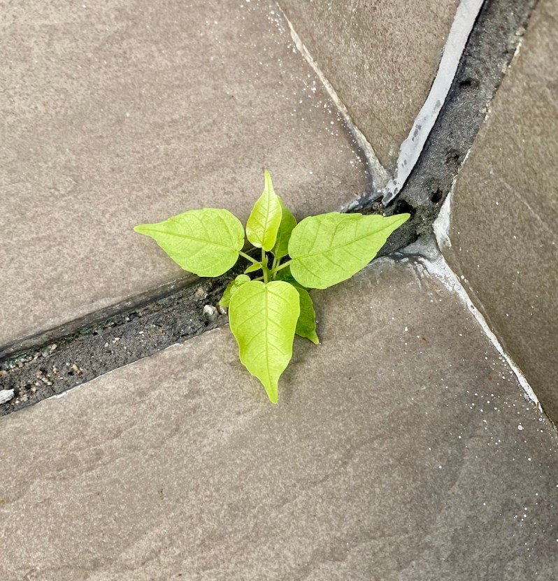 Plant growing from cement_nature thriving_COVID-19_Popsicle Society