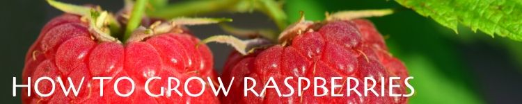 How to grow raspberries_Popsicle Society