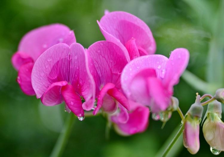 sweet peas flowers_Popsicle Society
