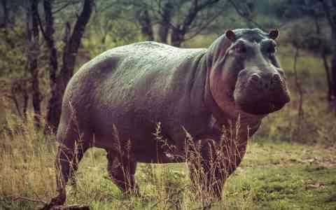 Pablo Escobar's hippo