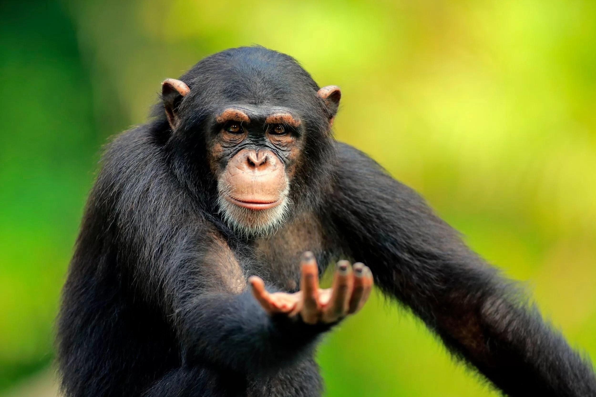 Голос шимпанзе сообщил об их поведении