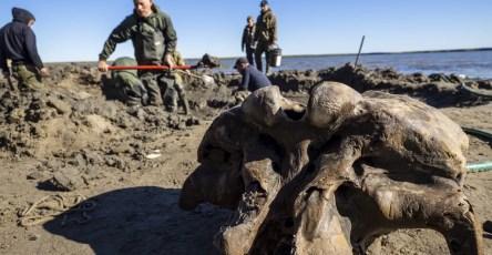 На Ямале нашли полный скелет взрослого мамонта