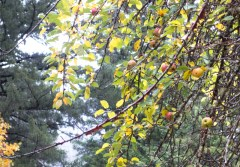 A couple wild apple trees in the campground