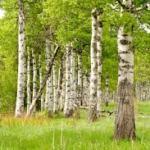 Sok z brzozy – czyściciel organizmu