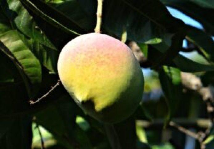 mango2-336750_1920