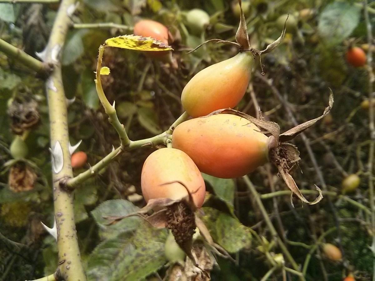 Dzika róża: suszenie owoców dzikiej róży w piekarniku