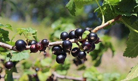 Owoce czarnej porzeczki na krzaku