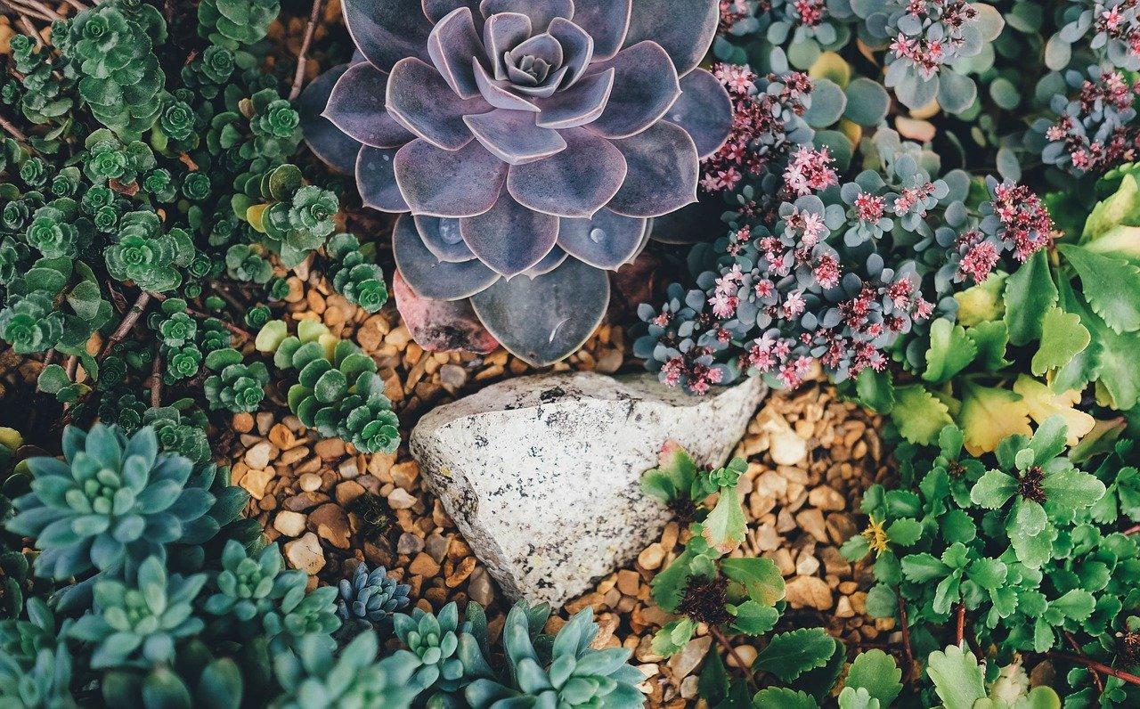 Sukulenty w ogrodzie - rojniki i rozchodniki