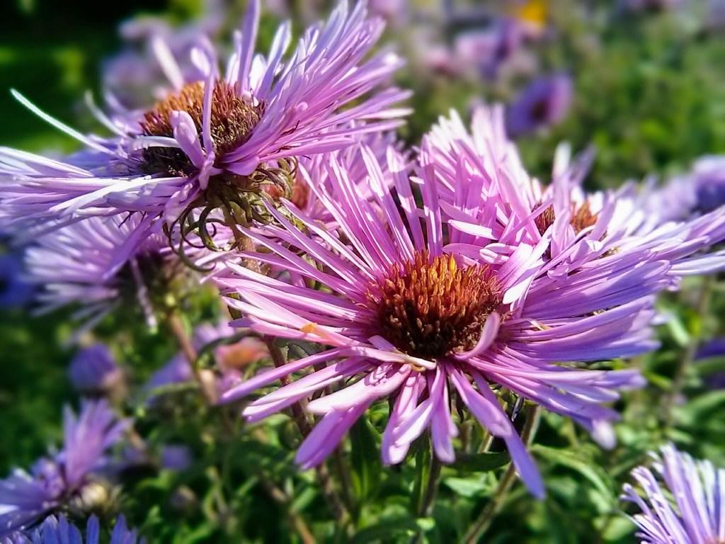 Marcinki - astry jesienne w odmianie purpurowej