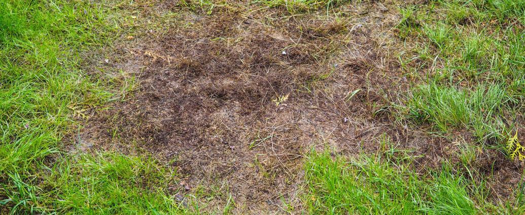 Trawnik zniszczony przez pędraki w ogrodzie