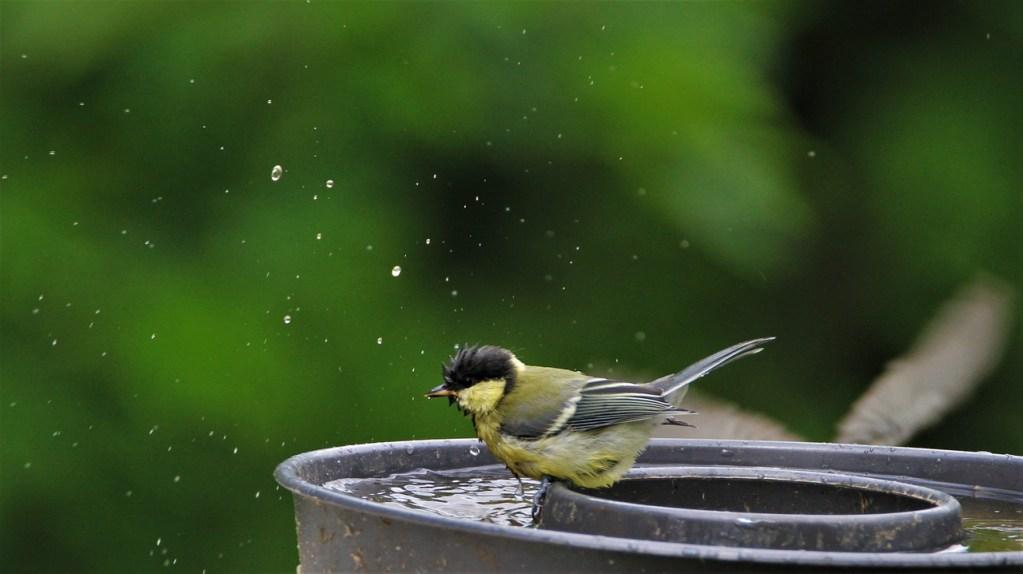Sikorka kąpie się w poidełku dla ptaków