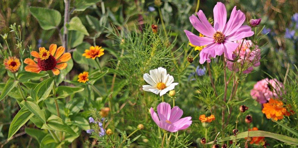 Łąka kwietna - kwitnące kosmosy i cynie