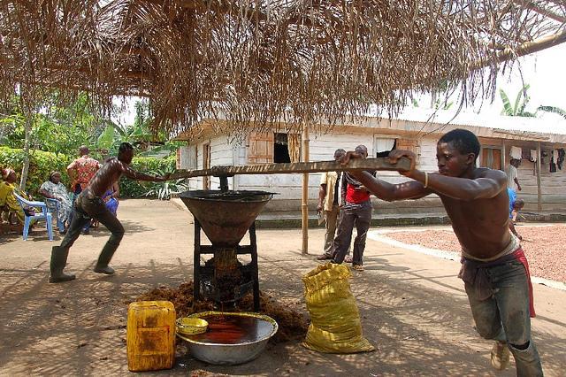 Resultado de imagen de cultivo de aceite de palma en Camerún imagenes