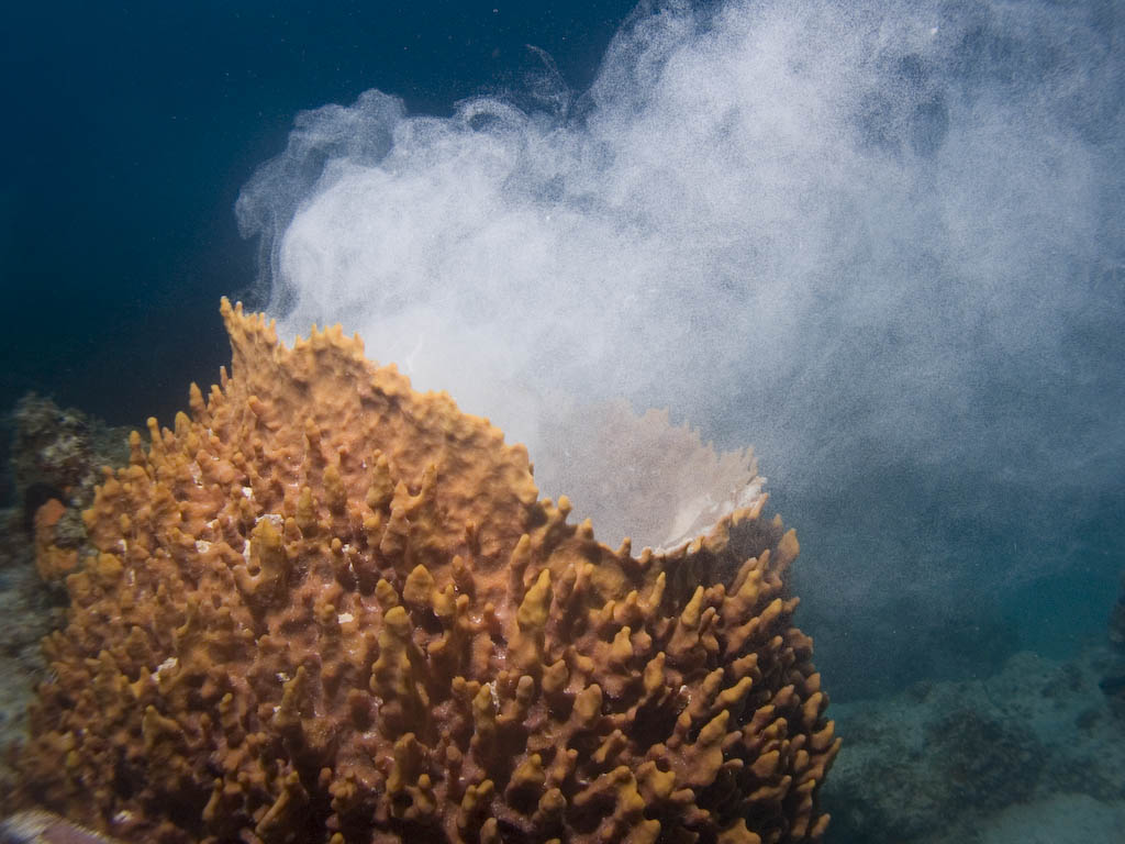 Sea sponge releasing sperm to be collected by female sponge