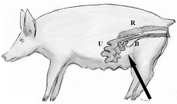 Using Real Time Ultrasound For Pregnancy In Swine Pork Information