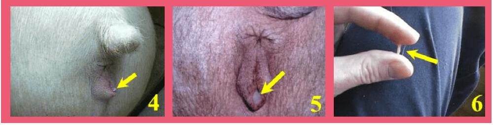 Detect heat swollen vulva