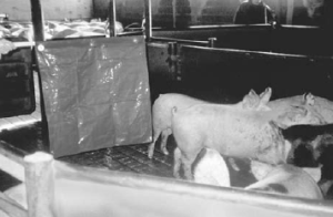 Figure 2. A flag can be used to turn a pig by blocking its vision on one side.