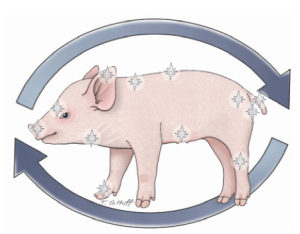 Figure 3 Use a consistent method of observation for each piglet. Starting at the nose and moving in a clock-wise direction on each side taking note of any abnormalities. Healthy pigs should appear fleshy and vibrant. This assessment takes 1-3 seconds per pig, which means that in a 2,000 head barn, depending on health status, an average of 30 to 100 minutes would be spent.