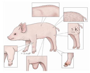 Figure 4 Compromised animals are thin with a rough or greasy hair coat. Lesions or skin irritations may indicate more complex problems. Hernias, joint swelling etc., should also be noted during your observation.