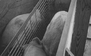 """Figure 4. Pigs move rapidly up a loading ramp with a """"see through"""" divider down the middle. The outer fences should be solid."""