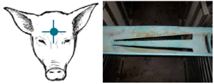 Figure 5 (left) Depiction of proper placement for nonpenetrating captive bolt, unlike gun shot, it is critical the gun be placed firmly against the skull<sup>13</sup>. Figure 6 (right) Modified PVC pipe for holding pigs during application of nonpenetrating captive bolt<sup>13</sup>