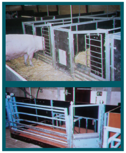 Figure 6: Experimental communal pen farrowing system from U.K., Denmark and The Netherlands (photo source: J.N. Marchant-Forde)