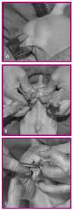 Figure 11. Castration using sidecutters: A. Making the incision; B. Exposing the testicles; C. Removing the testicle.