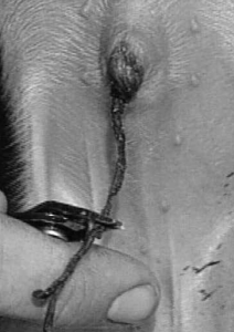 Figure 3. Clipping the navel cord.