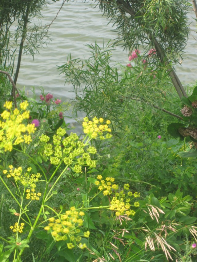 Beware the wild parsnip!