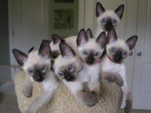 Pisicile diluate pot fi vizualizate ca câștiguri suplimentare, combinând cu orice altă lucrare.