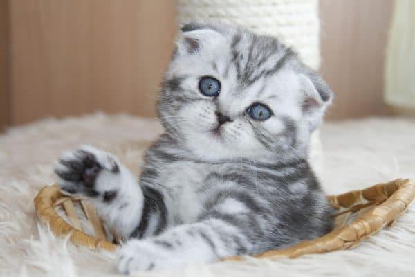Шотландия котенкасы