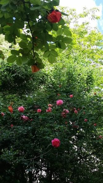 Roses dans le jardin d Musée de la Vie Romantique, 26 avril 2017
