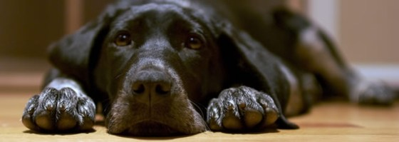 cuanto-vale-castrar-a-un-perro