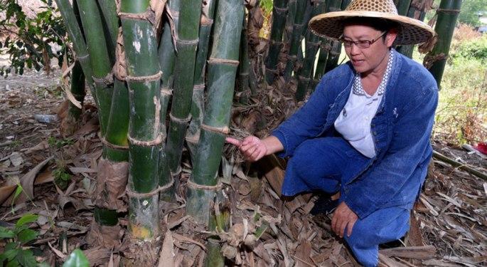 Duangsamorn-Wonglaya sit front of her bamboo