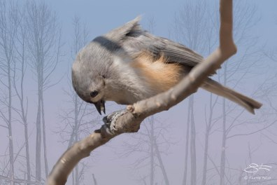 Tufted Titmouse, Central Park 3/24/2015