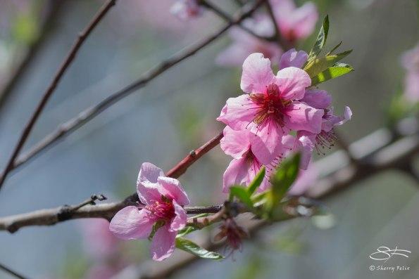 Peach (Prunus persica), Central Park 4/26/2015