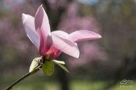 Magnolias (Magnoliceae), NYBG 4/29/2015