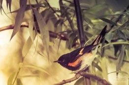 American Redstart, Central Park 5/15/2015