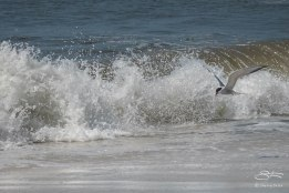 Common Tern, Nickerson Beach 6/17/2015