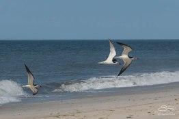 Black Skimmers, Nickerson Beach 6/17/2015