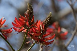 Coral Tree (Erythrina x sykesii)